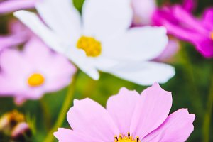 flowers cosmos vintage