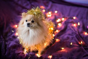 cute little German spitz red color in New Year's lights and a garland on purple background - trend 2018