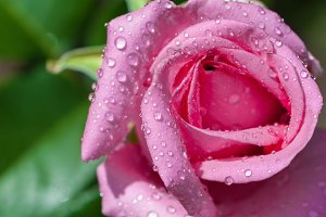 Water drops on pink rose flower.
