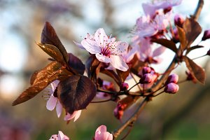 Pink blossom tree, spring time.
