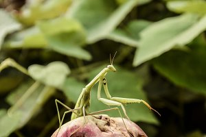The male praying mantis on the apple. Mantis looking for prey. Mantis insect predator.