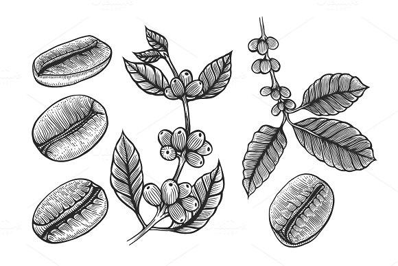 Coffee Branch Plant