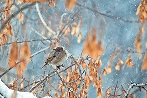 the sparrow huddles from cold