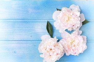 Splendid white peonies  flowers