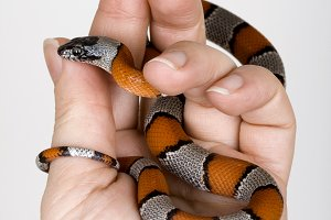 Lampropeltis alterna blair
