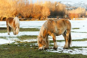hispano breton horses in  mountains