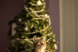 Cat with the Christmas tree