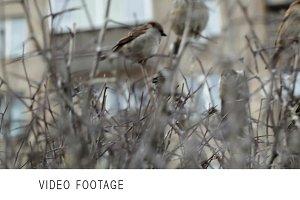 Flock of sparrows sitting on bush.