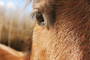 brown horse head closeup