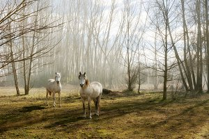 two white horses in the field