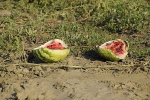 An abandoned field of watermelons and melons. Rotten watermelons. Remains of the harvest of melons. Rotting vegetables on the field.