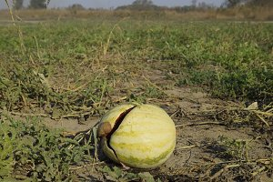 Chopped old rotten watermelon. An abandoned field of watermelons and melons. Rotten watermelons. Remains of the harvest of melons. Rotting vegetables on the field.