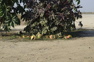 Broken old rotten watermelons under a bush of Ricinus.