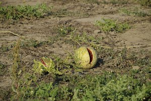 Split in two an old rotten watermelon. Rotten watermelons. Remains of the harvest of melons. Rotting vegetables on the field.