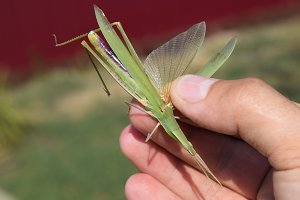 Green locust, wing insect. Pest of agricultural crops. Locust in