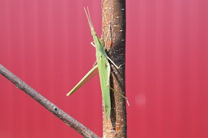 Green locust, wing insect. Pest of agricultural crops.