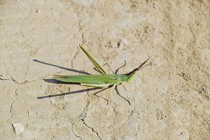 Green locust, wing insect. Pest of agricultural crops. Locusts o