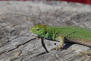 An ordinary quick green lizard. Lizard on the cut of a tree stump. Sand lizard, lacertid lizard