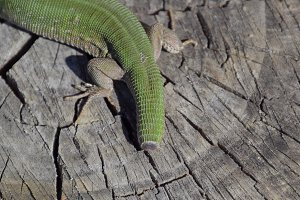 Regeneration of the lizard's tail. An ordinary quick green lizard. Lizard on the cut of a tree stump. Sand lizard, lacertid lizard