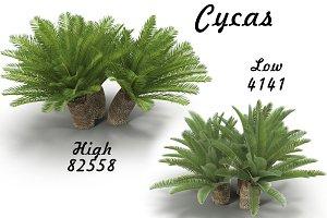 Cycas 1