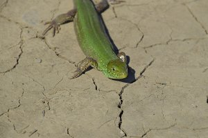 An ordinary quick green lizard. Lizard on dry ground. Sand lizard, lacertid lizard
