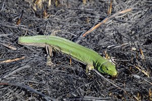 An ordinary quick green lizard. Lizard on the ground amidst ash and ash after a fire. Sand lizard, lacertid lizard