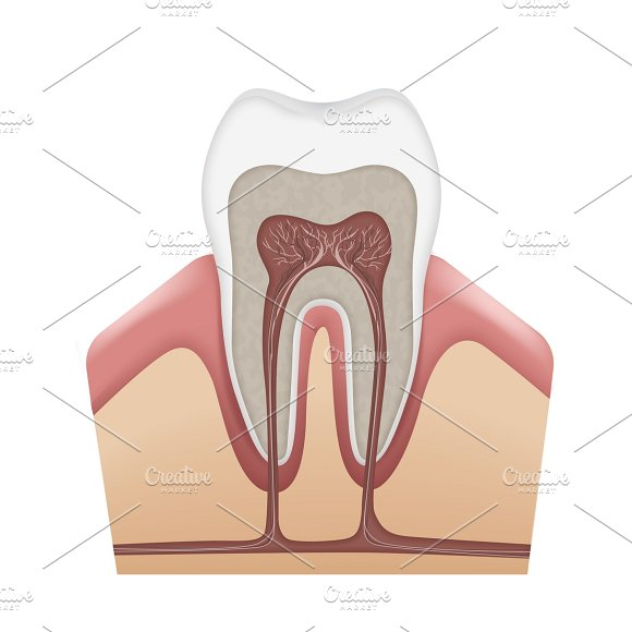 Human tooth structure in Illustrations