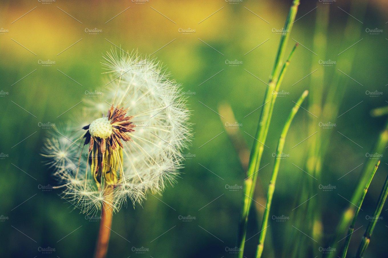nature sunset grass dandelion - photo #33