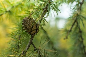 forest pine tree cones nature