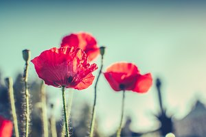 poppies blooming clear sky autumn