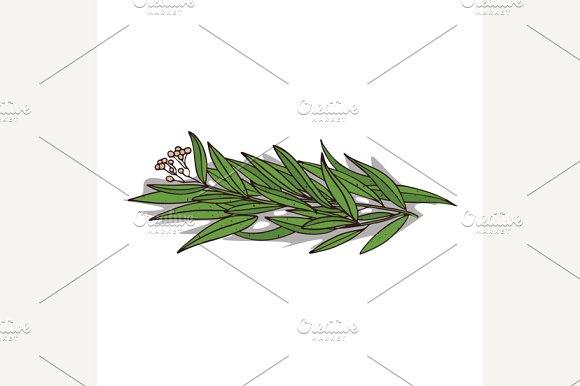 Isolated clipart Eucalyptus