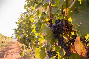 Grapes on a wineyard