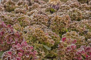 Icy hydrangea flowers