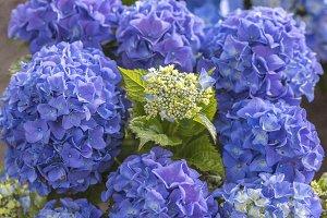 Blue hydragea
