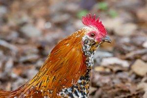 Rooster Portrait, Color Image