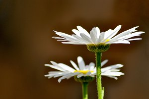 Two daisies on brown