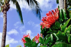 Red Flowers, St. Martin