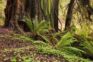 Sunlight in the Redwood Forest