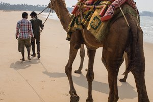 Indian cameleer - camel driver with camels