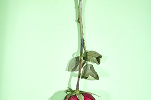 Dried Red Rose on green Background,
