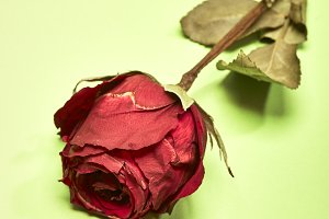 Dried Red Rose on green Background