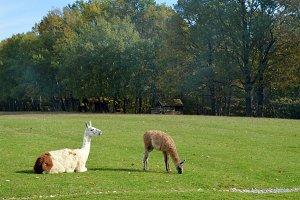 Lama glama~Llama