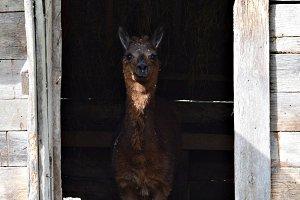 Hello happy Llama