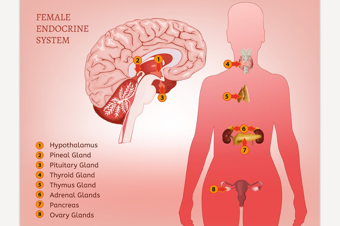 Female Endocrine System Illustrations Creative Market
