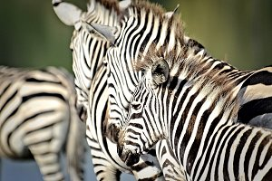 Zebras in colour Photography
