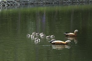 Ruddy shelduck with ducklings