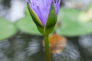 Blooming lotus blue