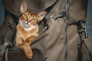 Brown cat sitting in the backpacker.