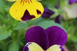 Pansies In Early Spring