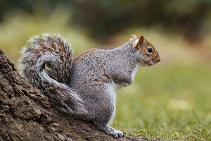 Gray squirrel sitting on a tree branch in the park and smiling